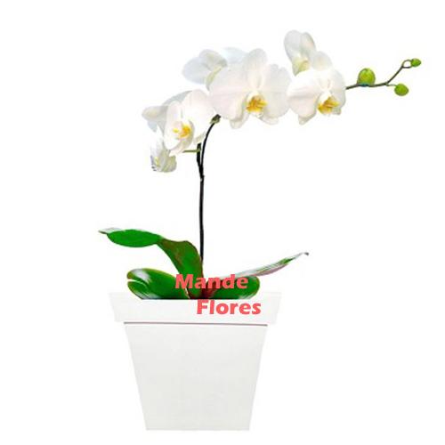 4313 Orquídea Pureza Branca.