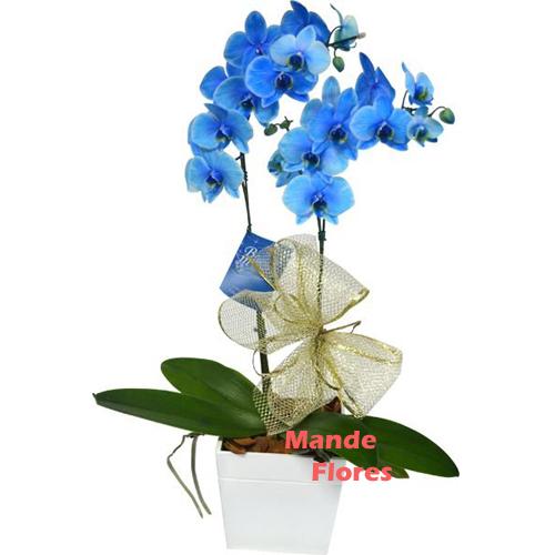 4315 Orquídeas Dupla Blue.
