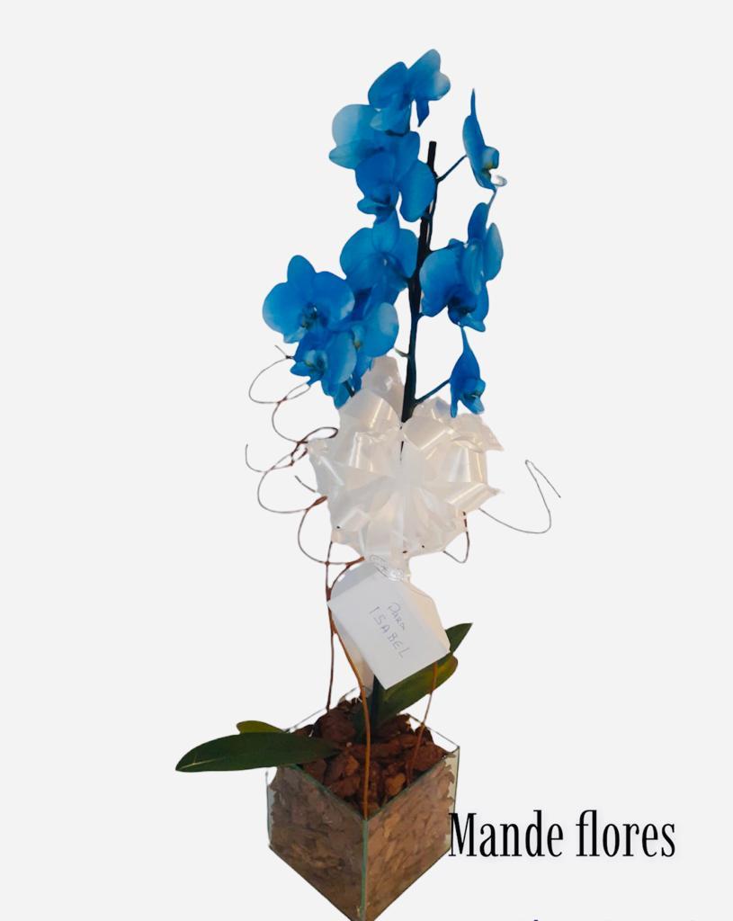 5523 Orquídea Falaenopisis No Cachepo